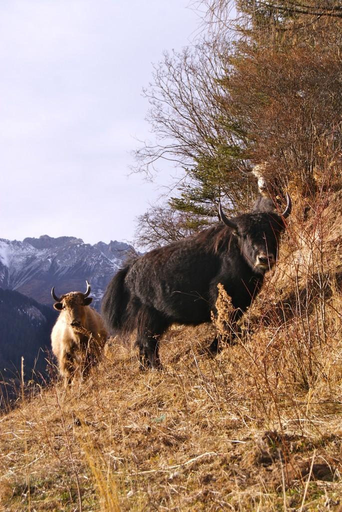 Des yaks nous observent du bord de la route