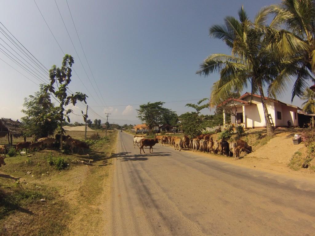 troupeau traversant la route non loin de la frontière lao-thaillandaise