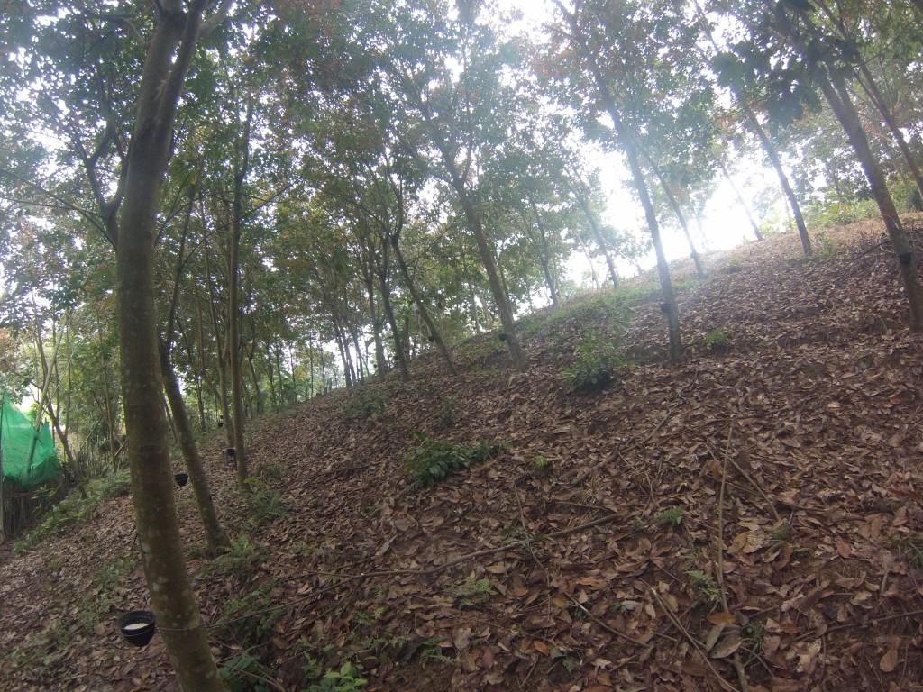 Plantation d'hévéa