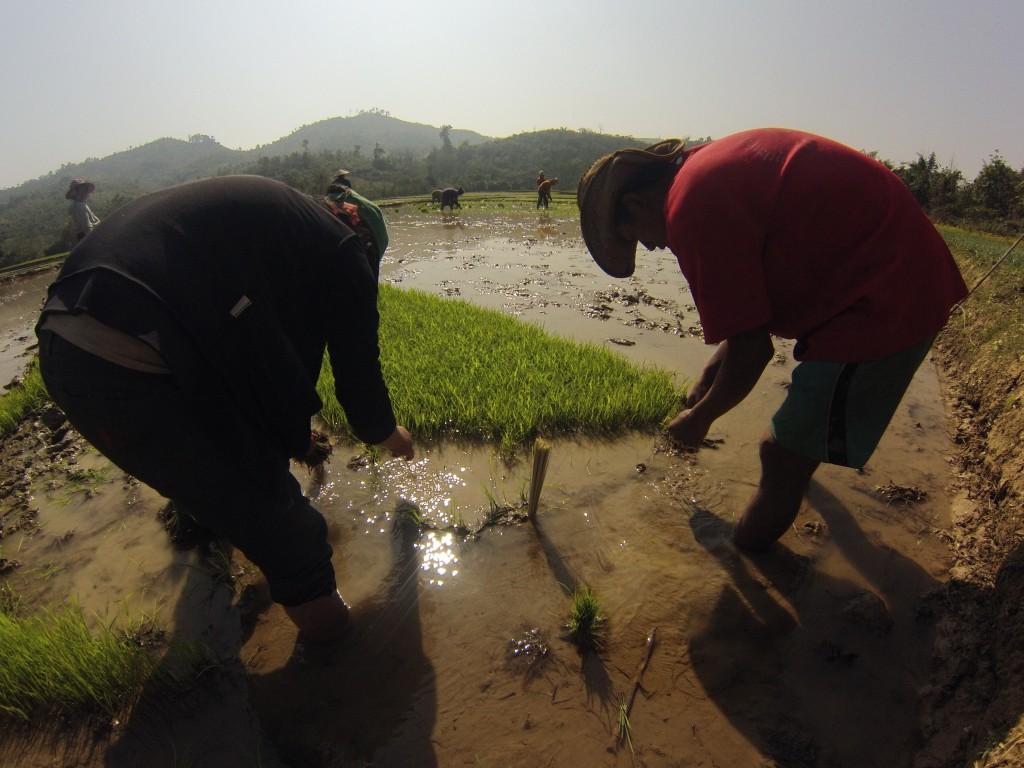 Plantation des jeunes pousses de riz