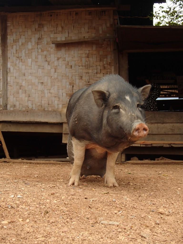 Cochon (crédit photos Sandra Gilles)