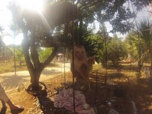 Singe rencontré dans un temple aux allures de Zoo.
