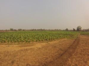 Plantation de choux, Mounlapamok